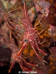 A Durban Dancing Shrimp on the king Cruiser Wreck by Daniel Sasse 
